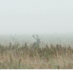 Kronhjort  (Cervus elaphus)