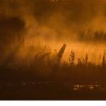 Gråhäger (Ardea cinerea)