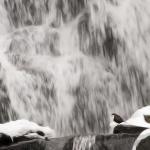 Strömstare (Cinclus cinclus)