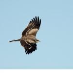 Brun glada (Milvus migrans)