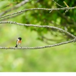 Svarthakad buskskvätta (Saxicola rubicola)