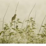 Kärrsångare (Acrocephalus palustris)