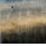 Smådopping (Tachybaptus ruficollis)