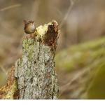 Gärdsmyg (Troglodytes troglodytes)