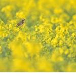 Buskskvätta (Saxicola rubetra)