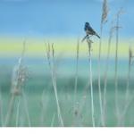 Vitstjärnig blåhake  (Luscinia svecica cyanecula)