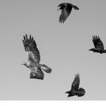Kungsörn (Aquila chrysaetos) Korp (Corvus corax)
