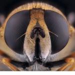Slamfluga (Eristalis.sp)