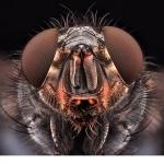 Spyfluga (Calliphoridae)