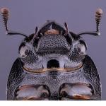 Bokoxe (Dorcus parallelipipedus),