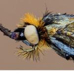 Åkerväddsantennmal (Nemophora metallica)