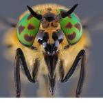 Blindbroms (Chrysops relictus)