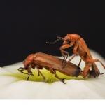 Liten flugbagge (Rhagonycha fulva)