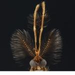Stickmygga (Culicidae.sp)