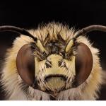 Örtagardsbi (Anthophora quadrimaculata)