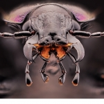 Parklöpare (Carabus nemoralis)