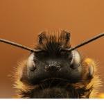 Rödmurarbi (Osmia bicornis)