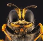 Rovstekel (Ectemnius sexcinctus)