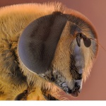 Storslamfluga (Eristalis tenax)