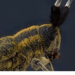 Tistelbock (Agapanthia villosoviridescens)