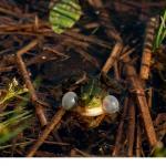Gölgroda (Pelophylax lessonae)