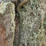 Skogsödlan (Zootoca vivipara)