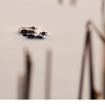 Vanlig padda (Bufo bufo)