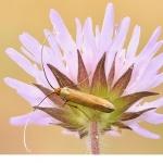 Åkerväddsantennmal (Nemophora metallica)v