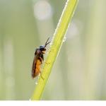 Borsthornstekel (Argidae. sp)