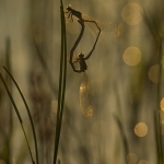 Flickslända (Zygoptera)