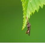 Stortapetserarbi (Megachile lagopoda)