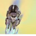Svärdhoppspindel (Pellenes tripunctatus)