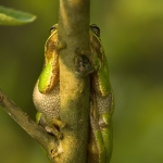 Lövgroda (Hyla arborea)