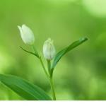 Stor skogslilja (Cephalanthera damasonium)