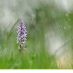 Jungfru Marie nycklar (Dactylorhiza maculata)