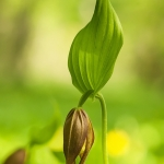 Guckusko (Cypripedium calceolus)