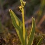 Gulyxne (Liparis loeselii)
