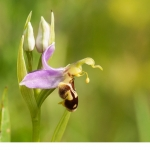 Biblomster (Ophrys apifera)