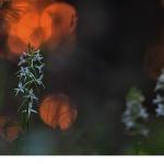 Skogsnattviol (Platanthera bifolia ssp. latiflora)
