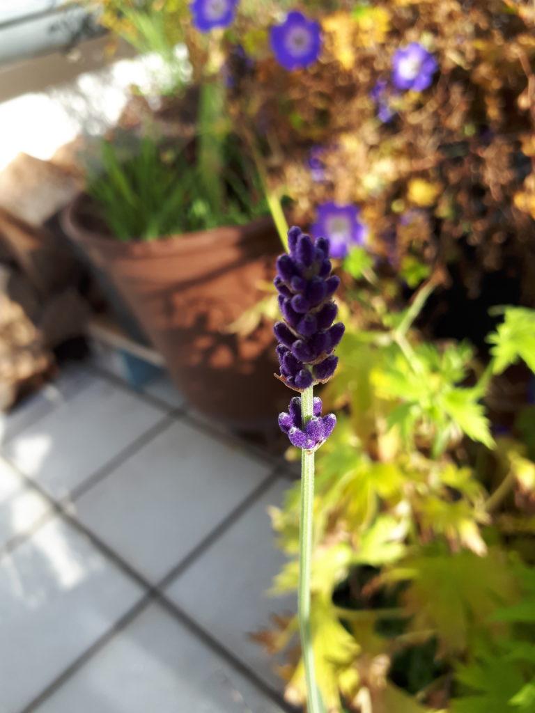 Lavendel und Storchschnabel blühen blau-violette in der Herbstsonne auf einem Balkon