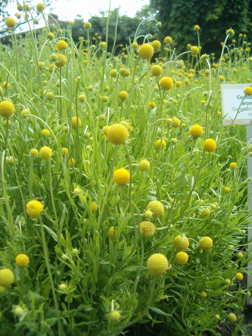 Die Gummibärchenpflanze duftet nach Apfel und Gummibärchen