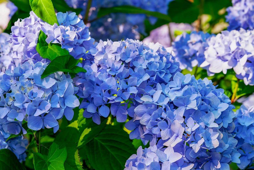 hortensia skifter farve med kaffegrums