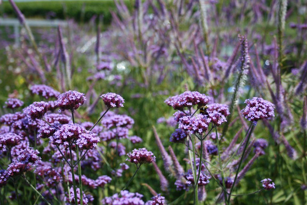 Argentinische Verbene - Patagonisches Eisenkraut - Die schönsten Dauerblüher für einen farbenfrohen Sommergarten