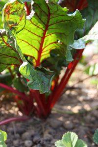 Fruchtfolge im Gemüsegarten – so gelingt der Anbau von gesundem Gemüse ohne Chemie