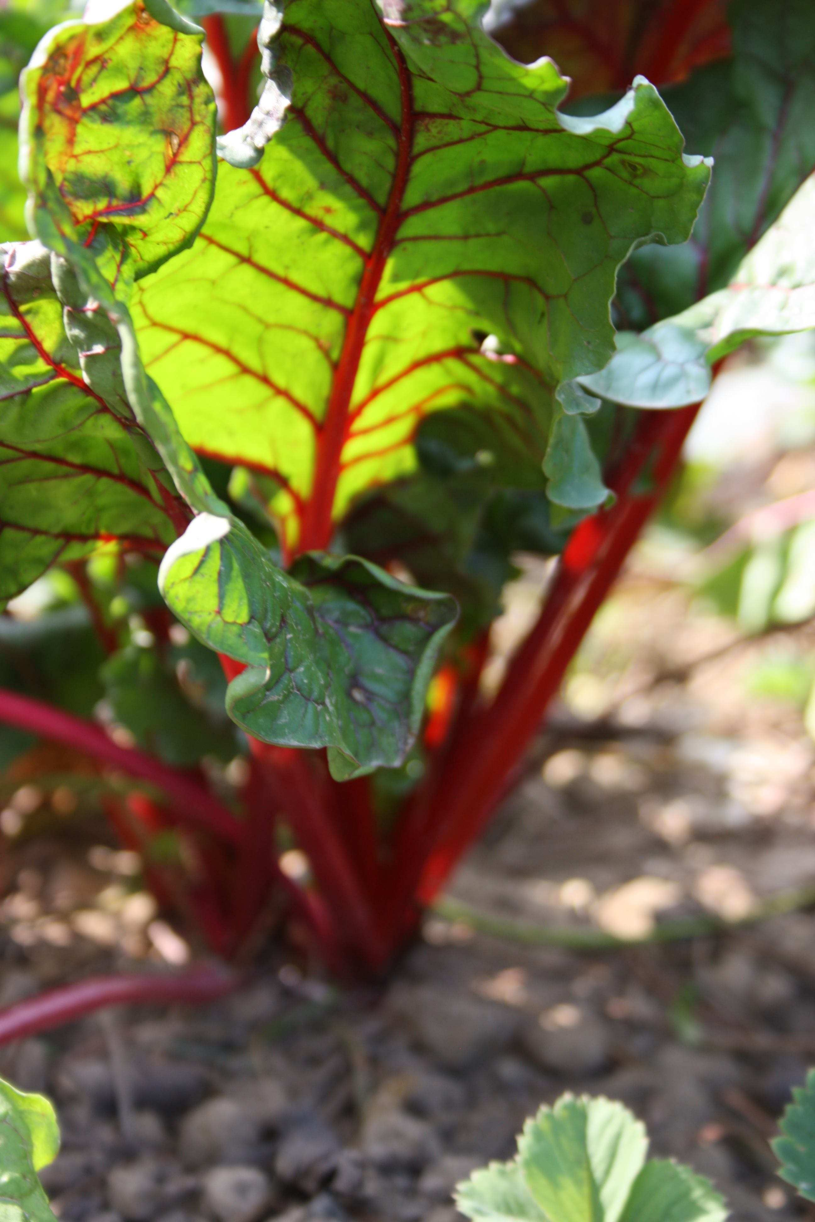 Read more about the article Fruchtfolge im Gemüsegarten – gesundes Gemüse ohne Chemie
