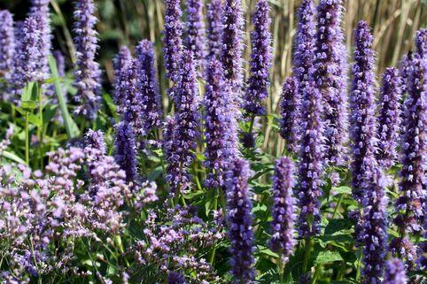 Duftnessel (Agastache-Hybride) - Die schönsten Dauerblüher für einen farbenfrohen Sommergarten