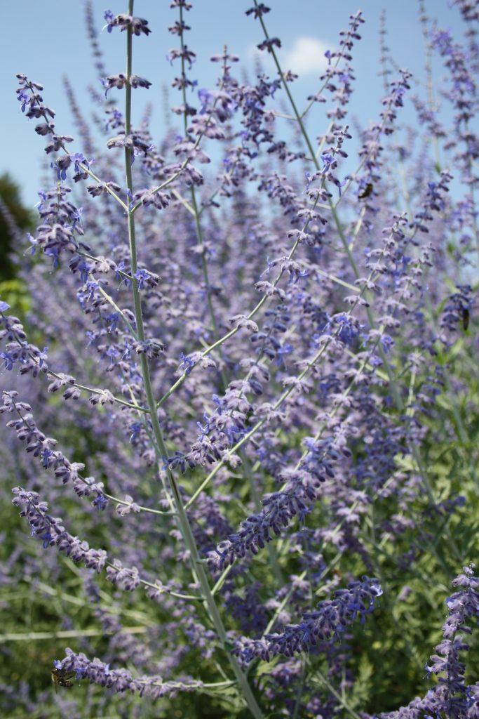 Blauraute (Perovskia atriplicifolia) - Die schönsten Dauerblüher für einen farbenfrohen Sommergarten