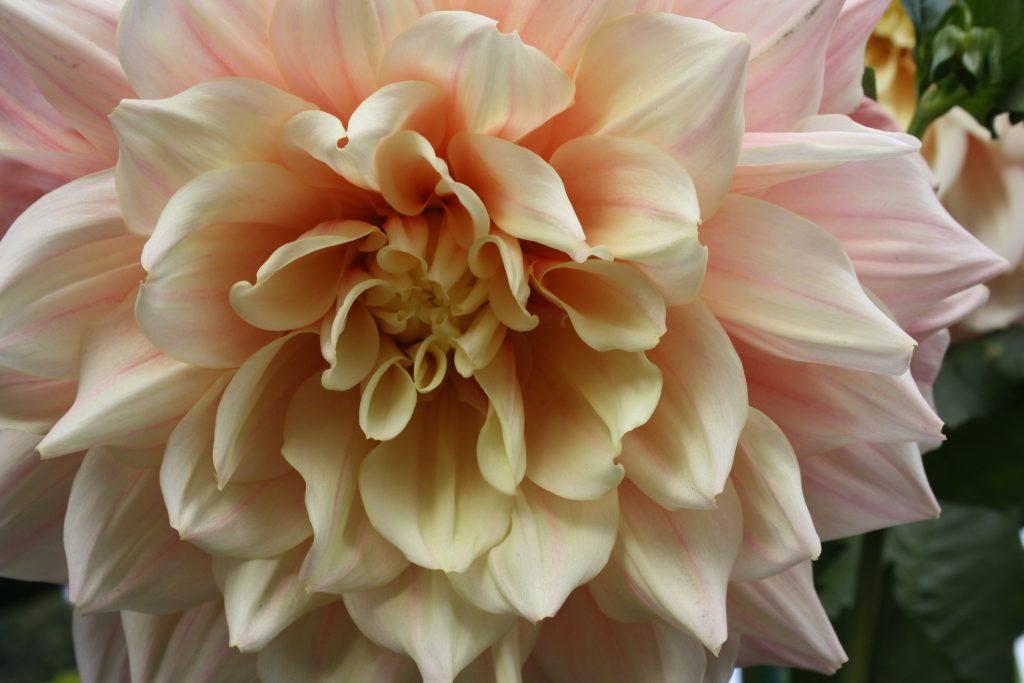 Dahlie - Die schönsten Dauerblüher für einen farbenfrohen Sommergarten