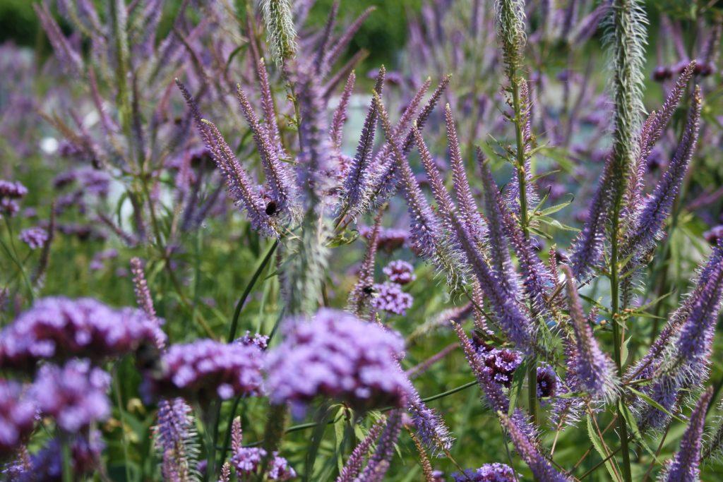 Kandelaber-Ehrenpreis - Die schönsten Dauerblüher für einen farbenfrohen Sommergarten