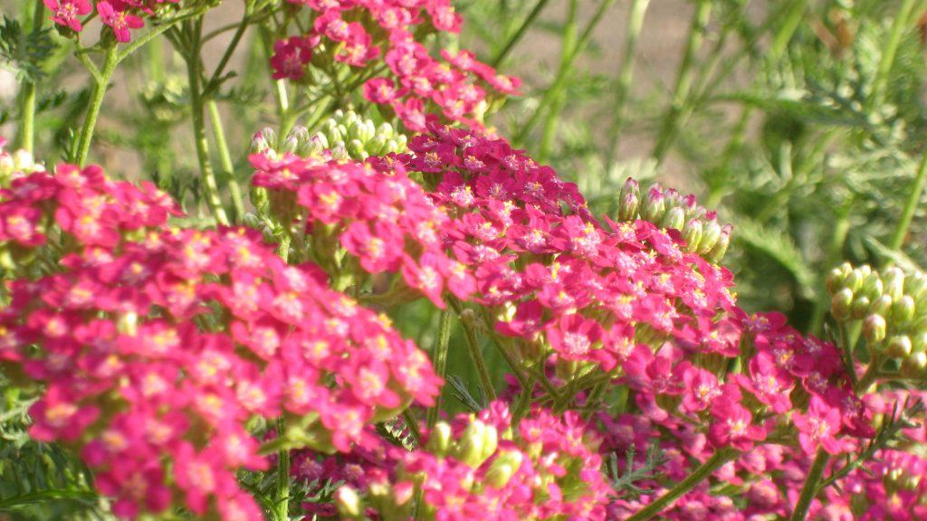 Schafgarbe 'Kirschkönigin' (Achillea millefolium 'Kirschkönigin') - Die schönsten Dauerblüher für einen farbenfrohen Sommergarten